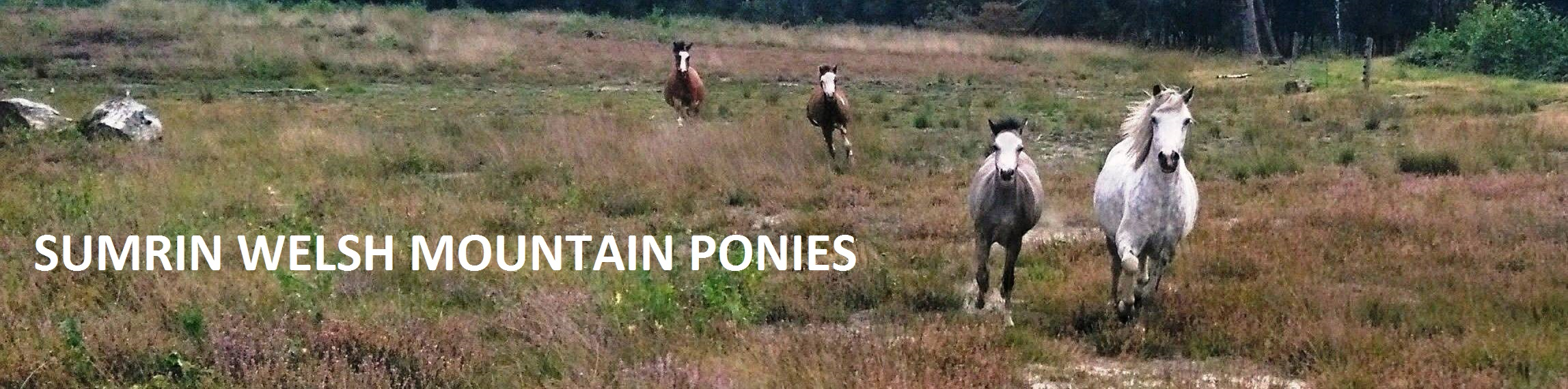 Sumrin Welsh Mountain Ponies